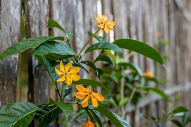 Желтая гардения carinata