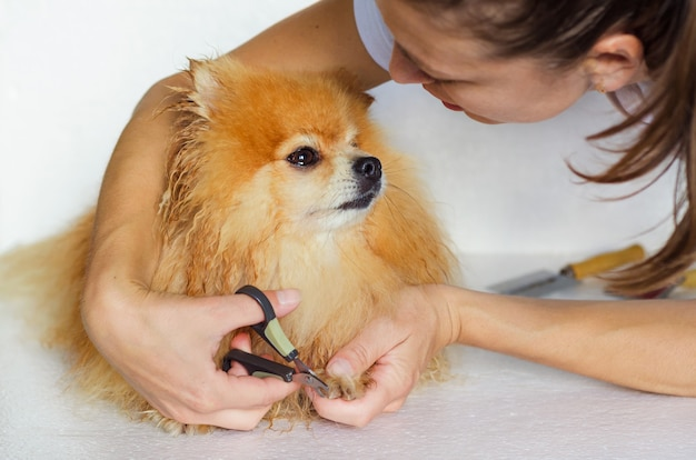 Caring for fur of domestic animal. claw cutting. grooming a wet dog. hairdresser salon for pets. owner taking care of pomeranian. professional hygiene and healthcare for pomeranian.