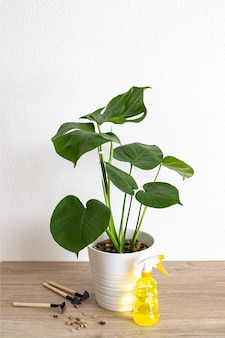 Caring for a houseplant. monstera deliciosa, swiss cheese plant in white pot, yellow spray bottle, expanded clay, gardening tools. the concept of home gardening.