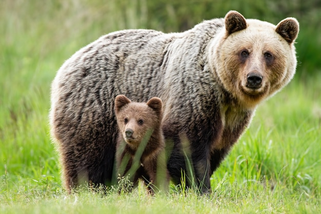 A caring she-bear protecting her little cub from danger