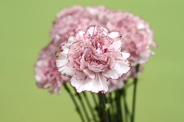 Цветок гвоздики для фона