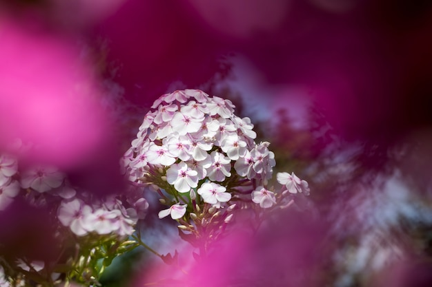 Carnation flowers in the spring season