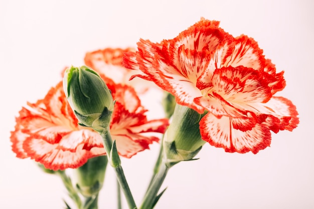 Carnations flower and bud on white background