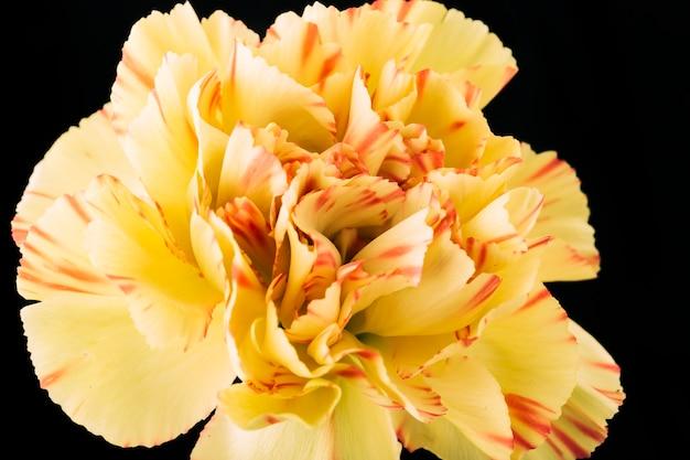 어두운 배경에서 카네이션 꽃