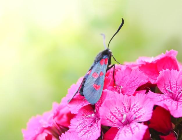 カーネーションは日差しの中で花を咲かせます。ムツモンベニモンザイガエナフィリペンデュラエ-日空を飛ぶ蛾。