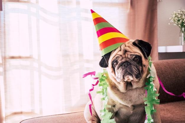 パーティーハットと悲しい深刻な面白い表現を持つ特別な面白い老犬のパグのためのカーニバルのお祝いや誕生日の記念日-国内の子犬のための屋内イベント活動