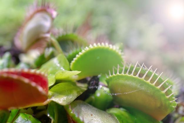 Carnivorous predatory plant venus flytrap - dionaea muscipula.
