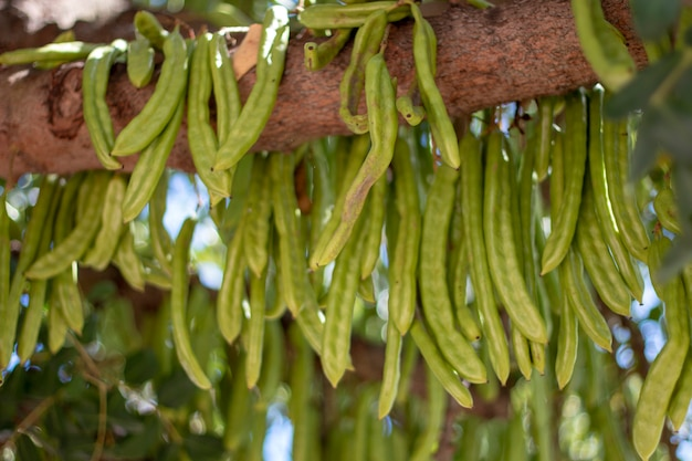Carob fruits hanging from the tree