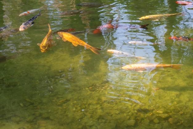 호수에서 일출에 아름다운 색상을 표시하는 잉어. 자연광, 선택적 초점.