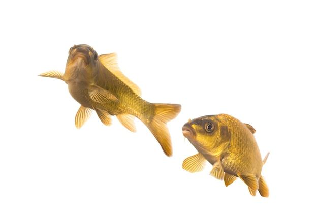 잉어 물고기 흰색 배경에 고립