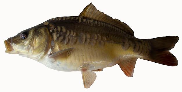 잉어 물고기 흰색 절연