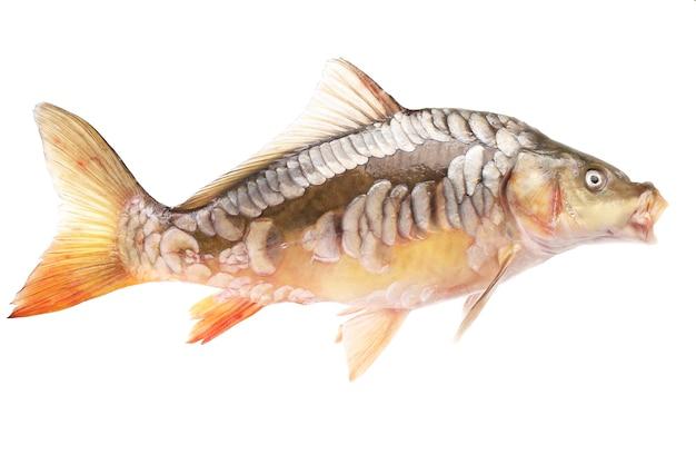 白い背景の上の鯉の魚