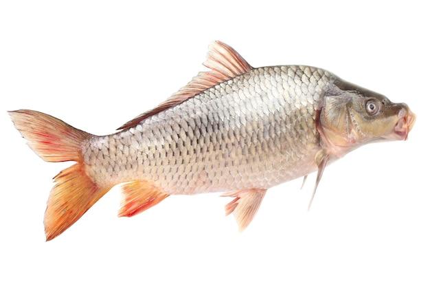 Карп рыба на белой поверхности