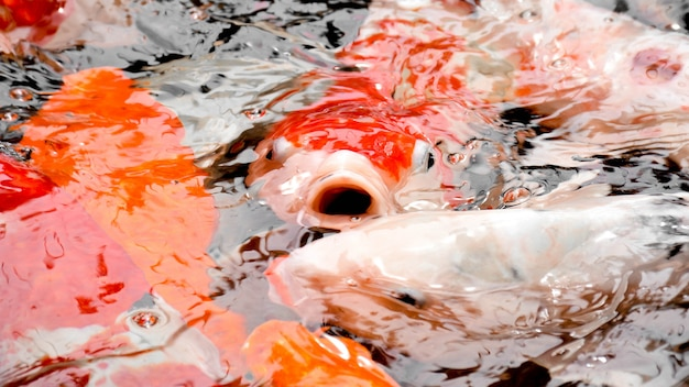 Carp fish open mouth in pond close up