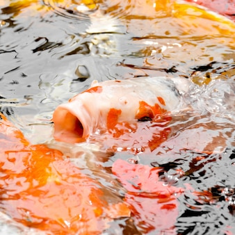Carp fish open mouth in pond - closeup