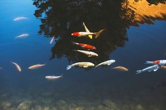 Carp Fish Swimming in Pool