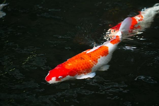 Карповые рыбы, плавающие в пруду