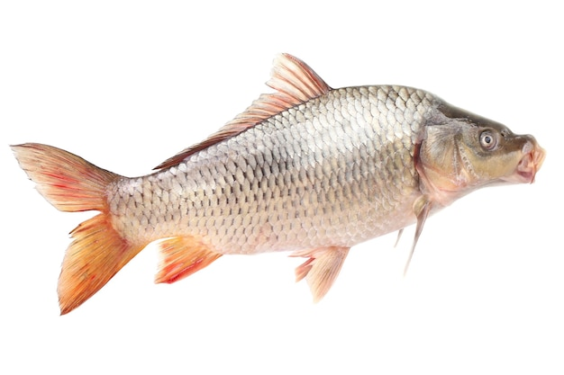 Carp fish on a white surface