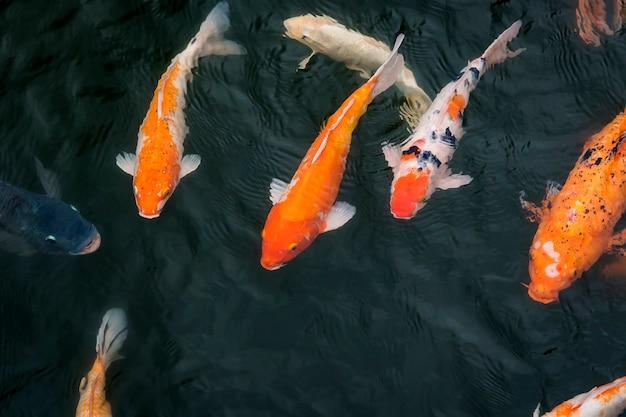 잉어 물고기는 베트남의 옛 수도였던 후에 시에 있는 성벽 요새이자 궁전인 후에 임페리얼 내부의 호수에서 헤엄치고 있습니다.