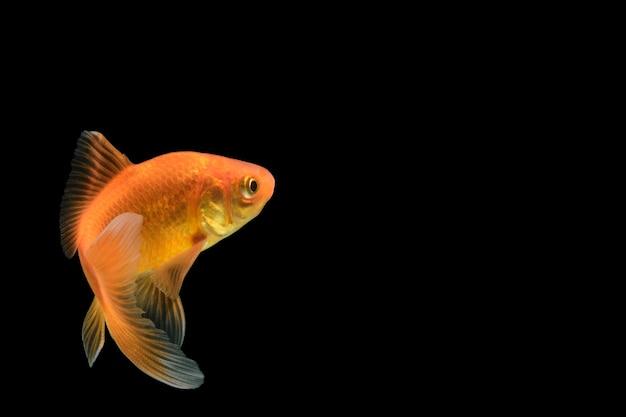 Carp golden fish