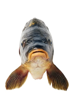 川の魚の白いクローズアップで分離されたコイの頭