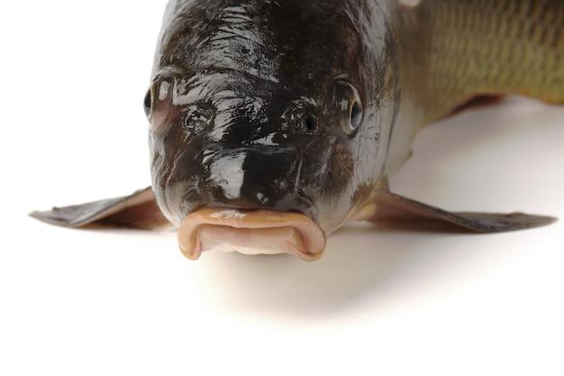 魚のクローズアップの白い側の頭に分離されたコイの頭