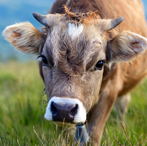 Carpathian cow in a pasture in the mountains in spring