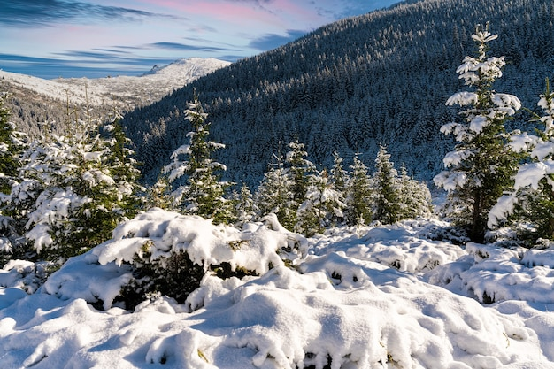 Carpathian mountains and hills with snow-white snow drifts and evergreen trees illuminated by the bright sun