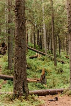 カルパティア松林。ウクライナのカルパティア山脈