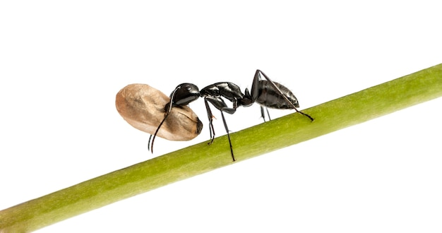 オオアリ、camponotus vagus、卵を運ぶ