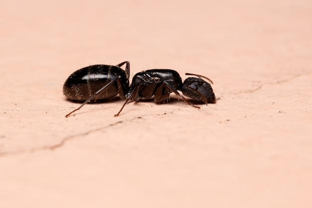 Carpenter ant of the genus camponotus