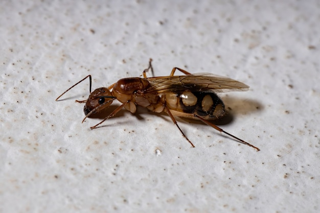 Carpenter ant of the species camponotus substitutus