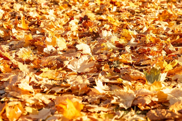 A carpet of dry yellow maple leaves on the ground. golden autumn. close-up. background. space for text.