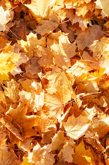 A carpet of dry yellow maple leaves on the ground. golden autumn. close-up. vertical.