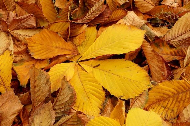 Ковер из осенних листьев каштана желтой тональности