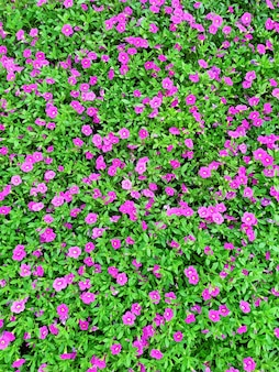 Ковер изготовлен из красивой темно-розовой петунии.