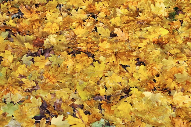 Carpet of leaves on the ground forming  yellow