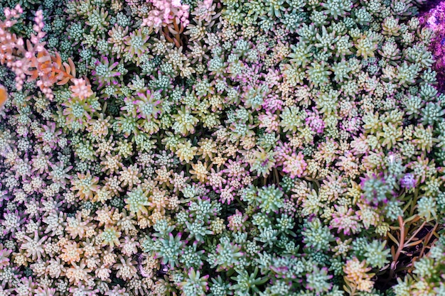 다채로운 다육 식물로 만든 카펫. 자연 배경, 질감입니다.