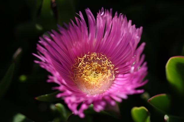 Carpobrotus chilensis 또는 carpobrotus edulis 꽃 근접 촬영