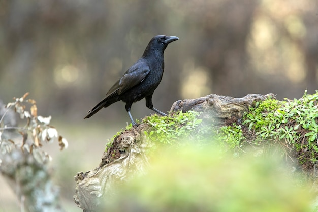 Carrion crow with the last evening lights in a pine forest