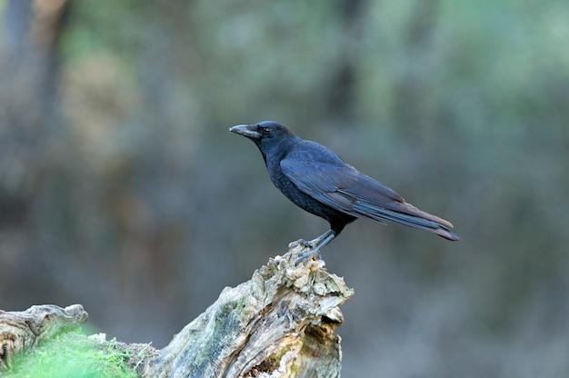 Ворона-падальщик с последними огнями заката в холодный зимний день в сосновом лесу