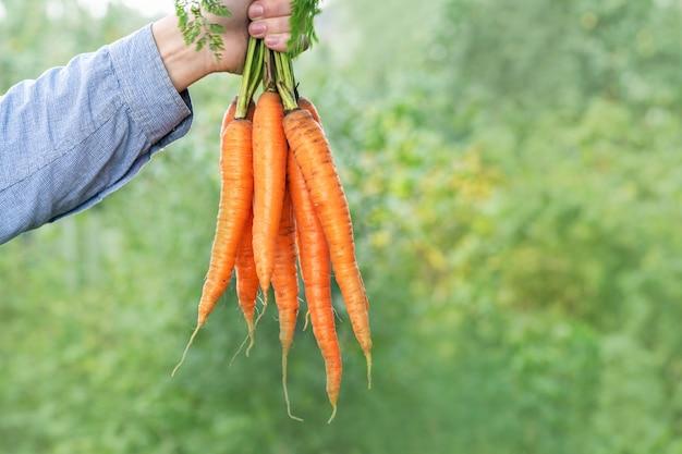 Морковь. фермер человек в синей рубашке и джинсах держит кучу больших и свежих морковь. урожай осенью. вертикальное фото