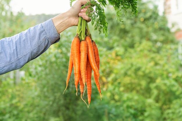 Морковь. фермер человек в синей рубашке и джинсах держит кучу больших и свежих морковь.
