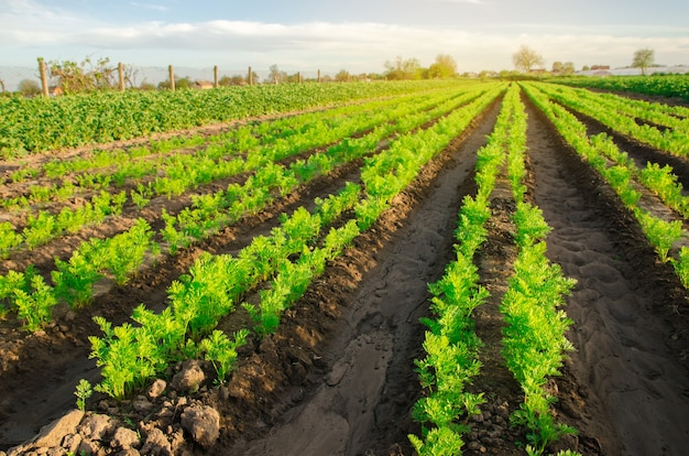 Carrot plantations grow in the field vegetable rows growing vegetables
