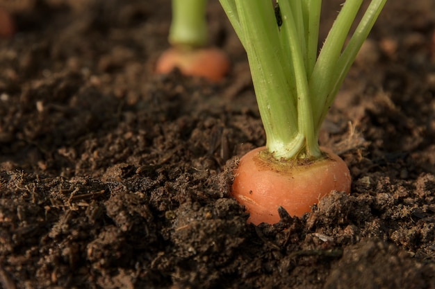 Carrot vegetable grows in the garden in the soil organic background closeup