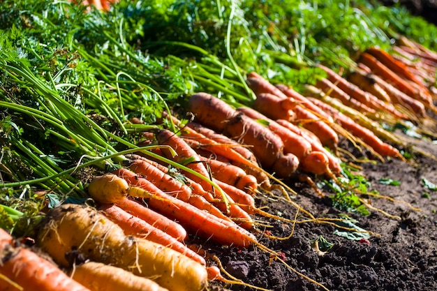 Carrots with green tops on the garden bed concept of harvesting growing vegetables agriculture