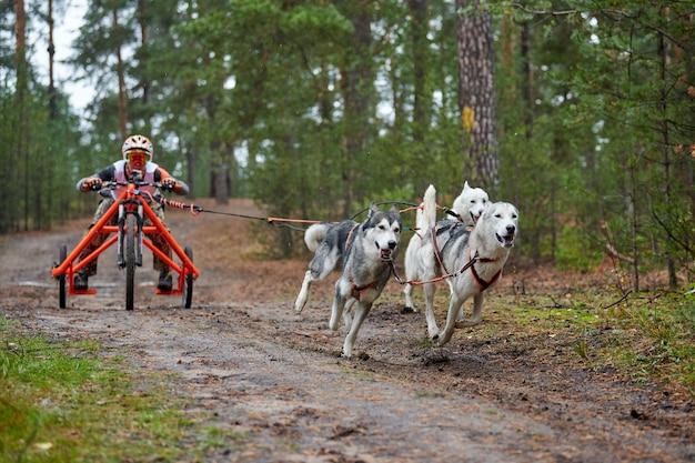Гонки на картингах. хаски ездовая собака, тянущая телегу. осенние соревнования по кроссу по засушливой местности.