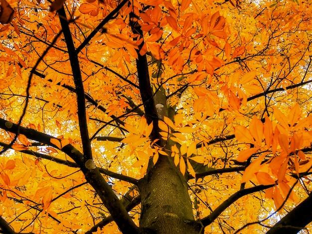 Carya cordiformis 나무는 가을에 색이 변합니다.