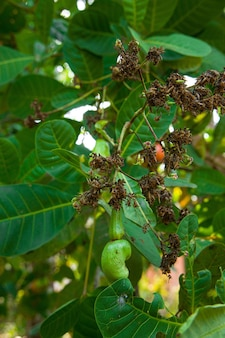 Cashew nut tree,filled with red fruits