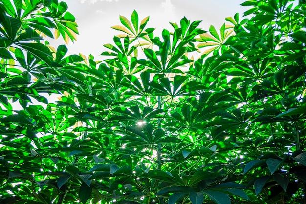 キャッサバは、マニオック、ユカ、バリンホイ、モゴ、マンディオカ、カモテンカホイ、タピオカ、マニオックルートとも呼ばれ、南アメリカ原産のトウダイグサ科の木質低木です。